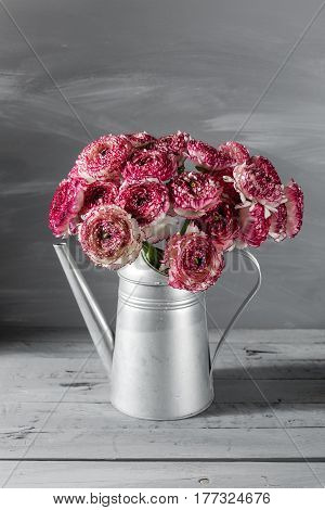 Maroon and white persian buttercup flowers. Curly peony ranunculus in Metallic gray vintage watering can, copy space