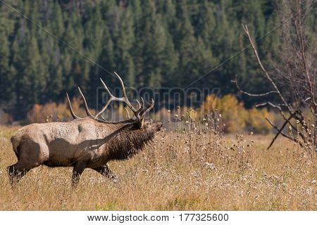 a bull elk in a meadow during the fall rut
