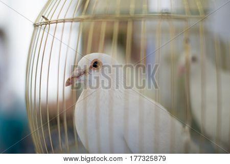 white dove wedding dove dove in a cage