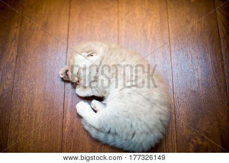 Cute gray kitten sleeping on the floor