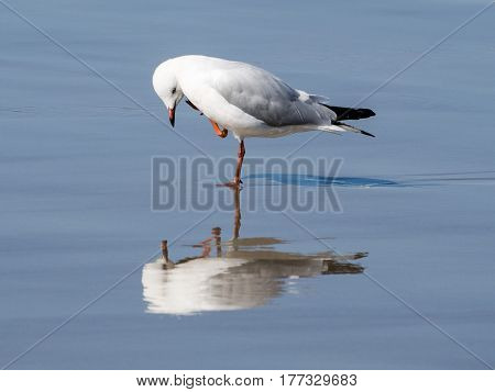 Seagull at the beach standing on one foot and admiring its own reflection
