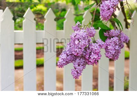 Lilacs in front of a white picket fence.