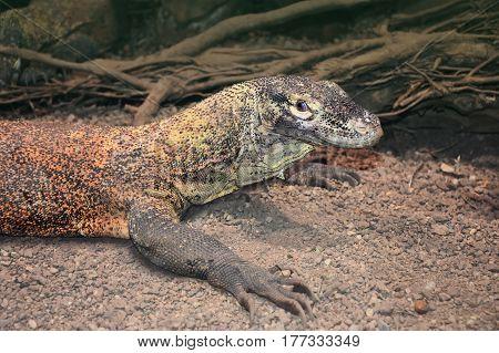 Head of a Water monitor lizard or Varanus salvator