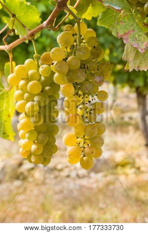 bunch of ripe Chardonnay grapes in vineyard