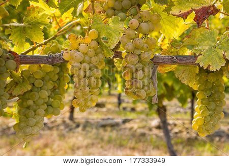 closeup of ripe Chardonnay grapes on vine in autumn vineyard