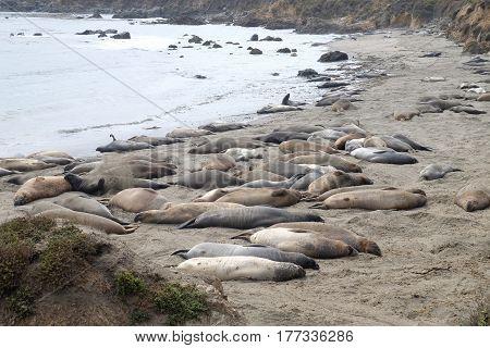 Sea Elephants Colony on the beach - California United States
