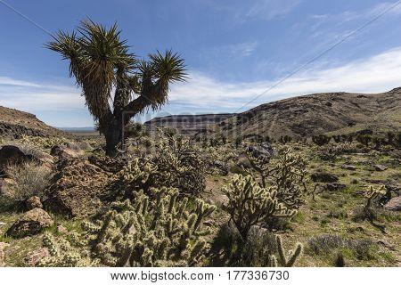 Desert garden along the Barber Loop trail in the Mojave National Preserve.