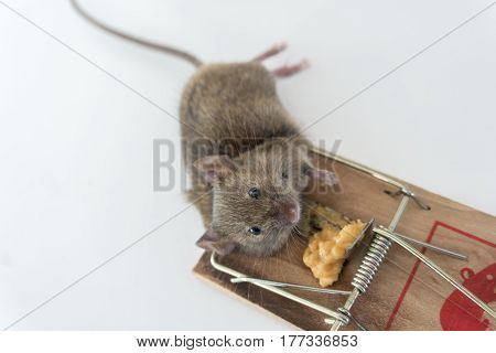 Small dead mouse caught in mouse trap