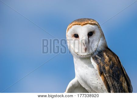 Portrait of Barn Owl (Tyto alba) against blue sky background