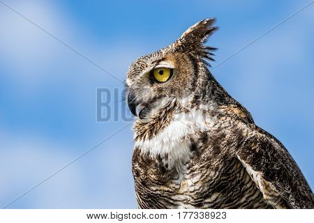 Portrait of Great Horned Owl (Bubo virginianus) aka Tiger Owl against blue sky background