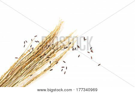 The Ear Of Paddy Rice And Brown Raw Rice Seed On White Background. Copy Space