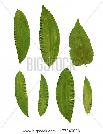 Dried and pressed leaves. For use in scrapbooking or for a herbarium