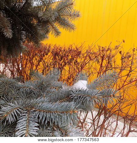 Blue spruce and snow on spruce branches