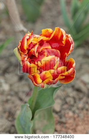 bright red and yellow tulip in the spring close up