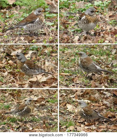 Birds of thrushes, the fieldfares on the background of old leaves and grass.