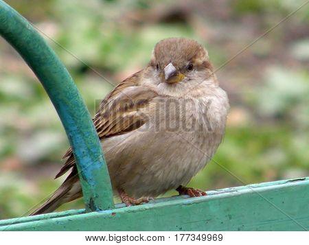 Bird Sparrow on a green fence.