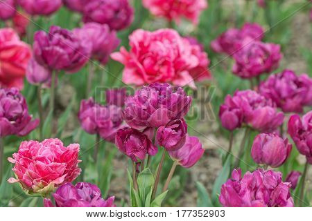 Beautiful purple and red tulips in spring garden