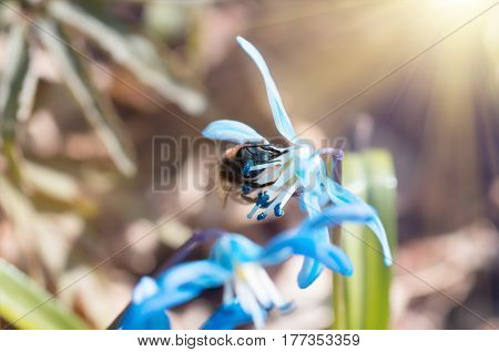 Bee on a blue flower spring snowdrops Scilla Squill Soft focus. nature background.