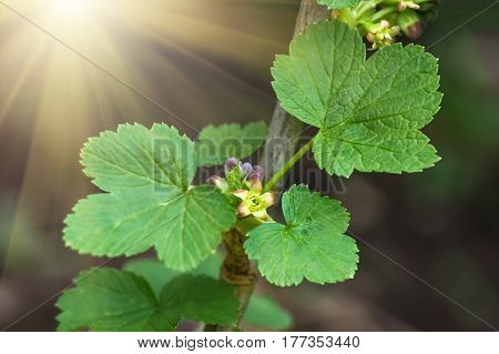flowers black currant, closeup, agricultural spring background