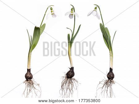 Snowdrops with roots and bulb isolated on white. Complete snowdrops.