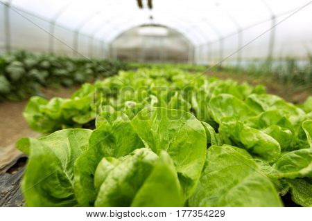 culture of organic salad in small greenhouse.