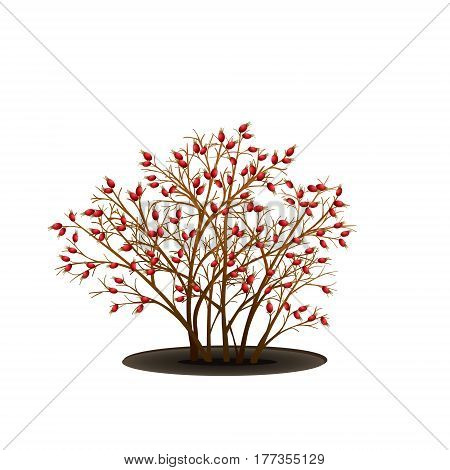 bush dogrose with berries without leaves on white background