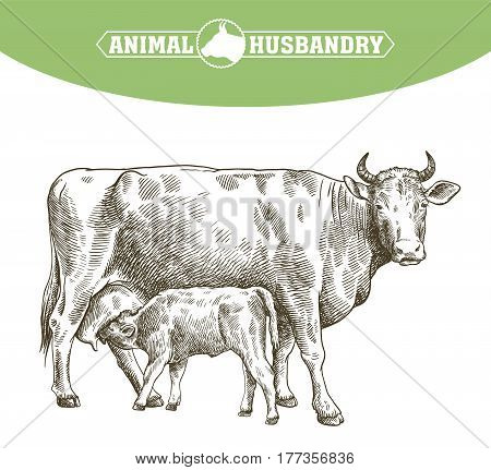 breeding cow. grazing cattle. animal husbandry. livestock. vector sketch on a white background