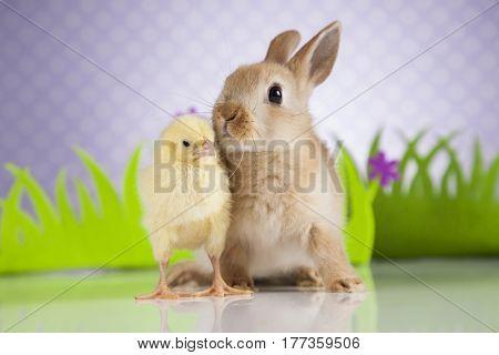 Easter chicken, Bunny