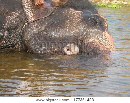 Indian Elephant Taking A Bath In The River.