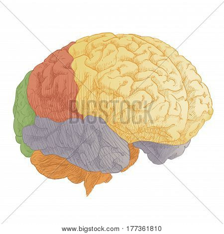Engraving brain color on white background. Human brain structure anatomy. Vector vintage illustration.