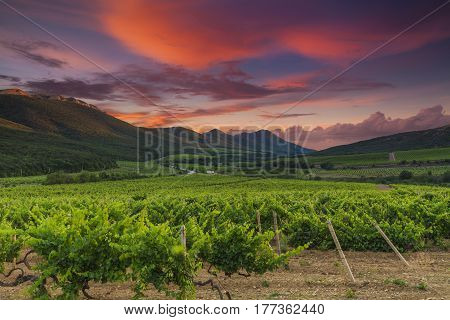 Panoramic view of a vineyard at sunset