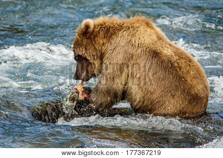 Alaskan brown baby-bear eating salmon, Brooks camp, US