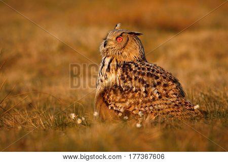 Eurasian eagle-owl staring at daylight, Czech Republic