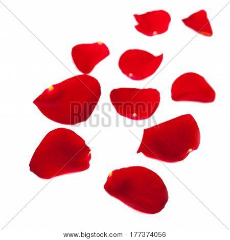 Red Rose petals fall Isolated on white background. Valentine or Wedding background