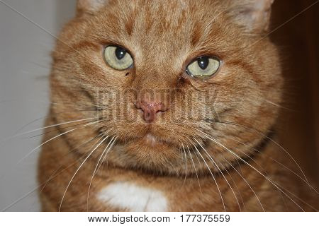 cat had tears flowing from the eyes because the eyes are sick. Close-up. Veterinary