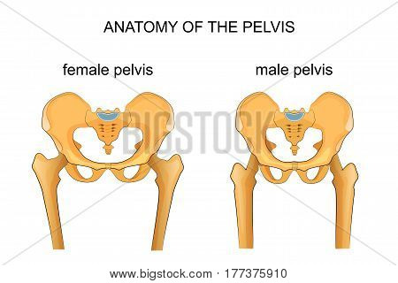 vector illustration of a comparison of the skeleton of the male and female pelvis