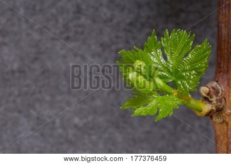 Young green sprouts of grapes on a gray background