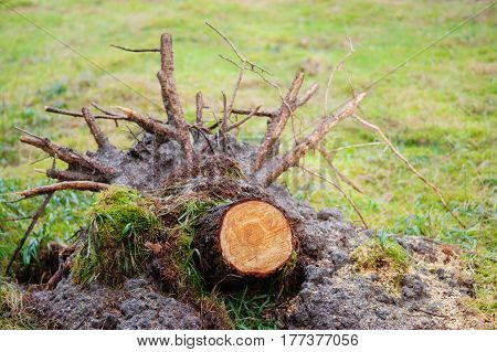 Uprooted stump of a felled tree with lots of thick roots