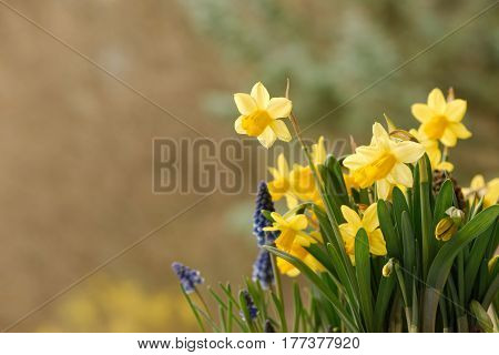 Closeup of daffodils and grape hyacinth flowers against a soft blurred background. Copy space