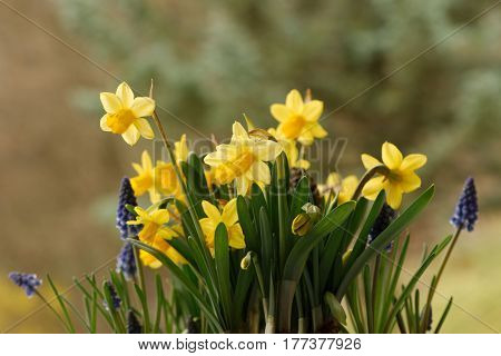 Closeup of yellow narcissus and blue muscari flowers outdoors