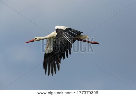 Portrait of flying natural white stork (Ciconia ciconia) in blue sky