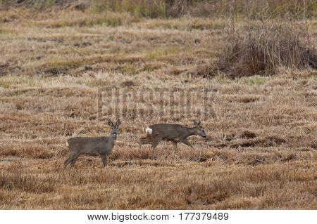 two natural roe deers standing in meadow