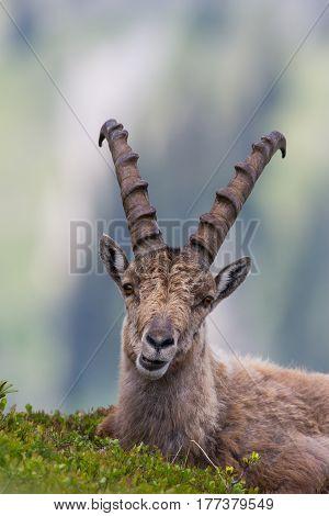Portrait of a male capricorn ibex lying in meadow