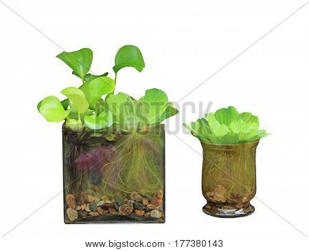 Water hyacinth and Pistia Stratiotes in vases isolated on white background