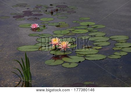 Pond with Waterlily flowers in summer time