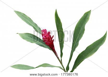 Red ginger flower and leaves isolated on white background