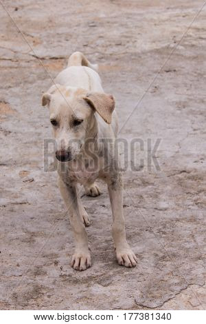 thai white stray dog , animal pet