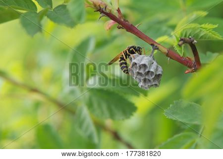 Striped wasp builds a nest on a branch in the wild nature on a green background