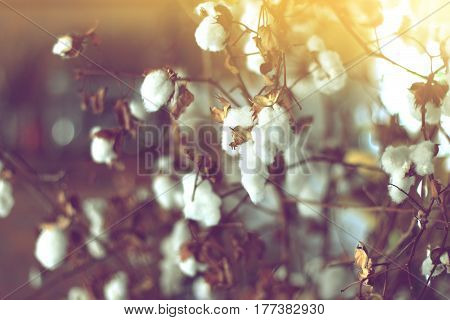 cotton field cotton plant flower branch on sunset light background