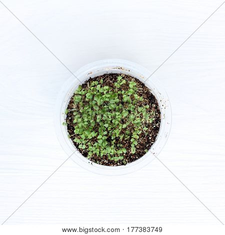Young green sprouts in a glass top view / growing seedlings
